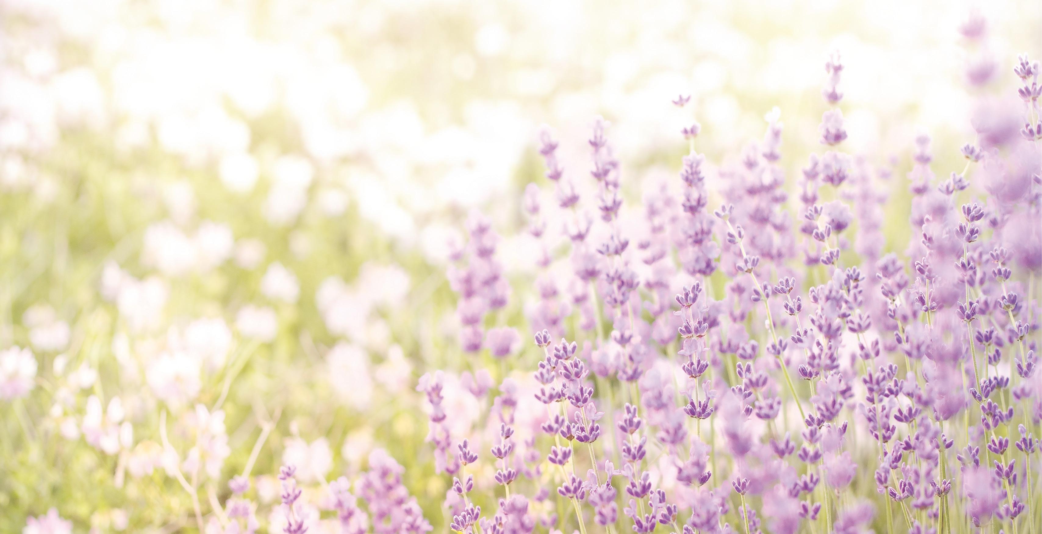 lavendel_0316_large.jpg